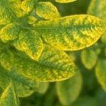 желтуха растений фото
