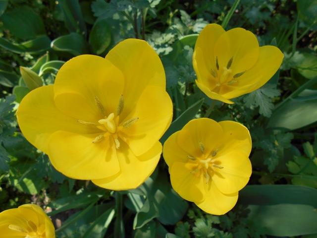 желтый тюльпан фото