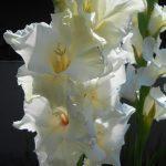 белые гладиолусы фото