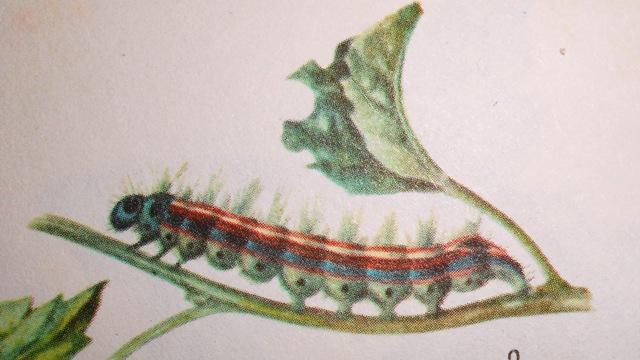 кольчатый шелкопряд гусеница фото