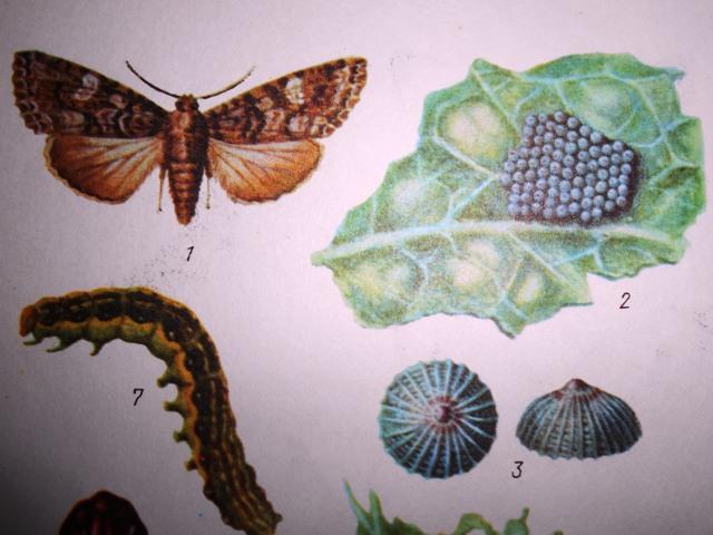 капустная совка бабочка фото