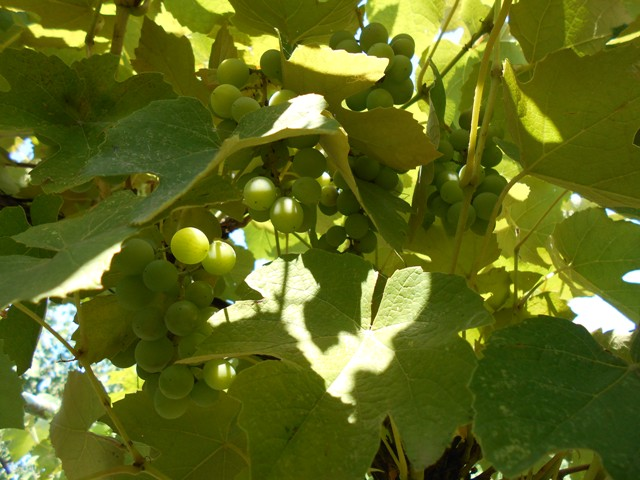 виноградник фото