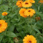 Фитонцидные растения: горчица и ноготки
