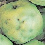 горькая ямчатость яблок фото