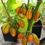 оранжевые мини баклажаны фото