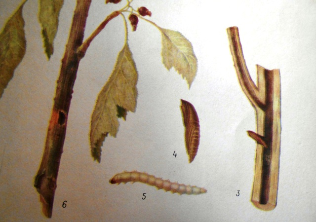 гусеница смородинной стеклянницы