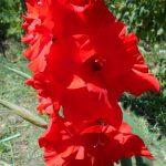 красный гладиолус фото