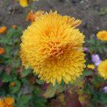 желтая хризантема фото