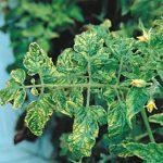 Мозаика томатов: меры борьбы