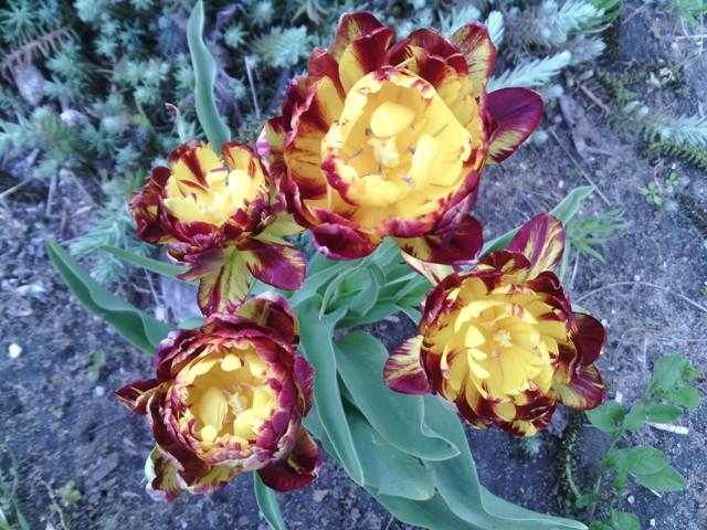 красивые сорта тюльпанов
