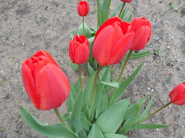 тюльпаны выкопка