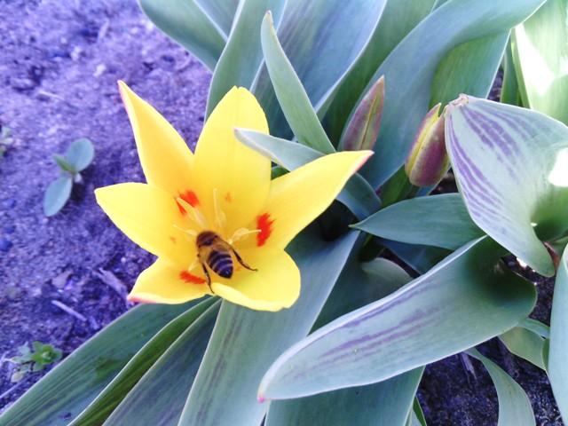 раннние тюльпаны