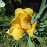 Плохо цветут ирисы: возможная причина