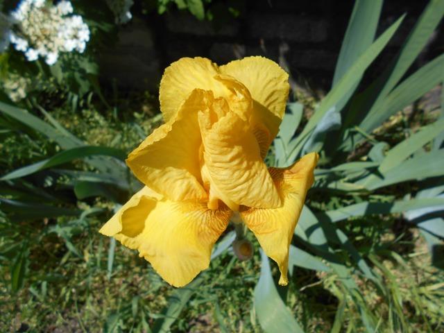 ирисы желтого цвета