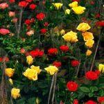 комнатные розы уход