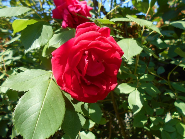 плетистая роза не цветет