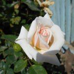 посадка садовых роз