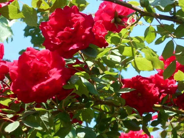пересадка роз в саду