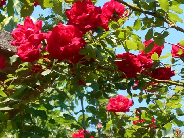 не цветет плетистая роза