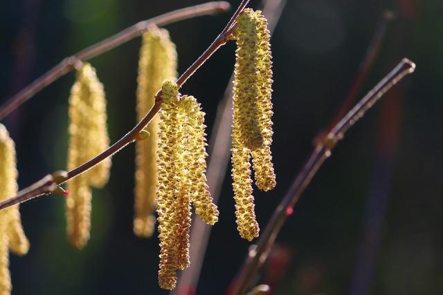 фундук цветет