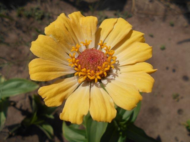 желтая циния фото