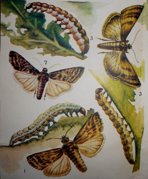 совка бабочка фото