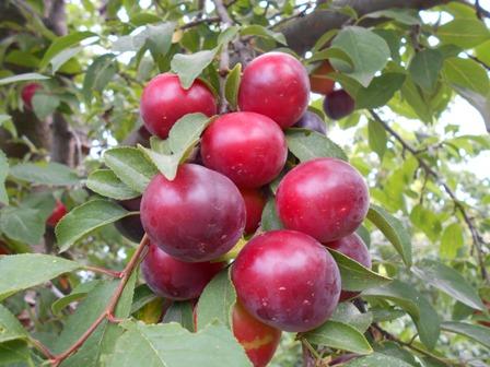 алыча плоды фото