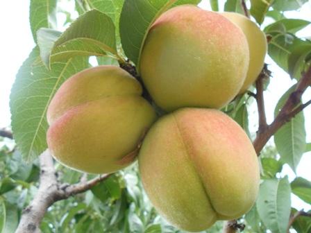 плоды персик фото