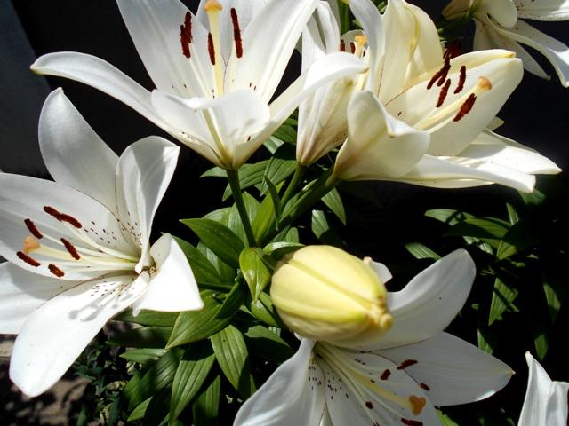 белые лилии не цветут