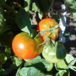 томат подкормка