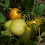 предшественники томат