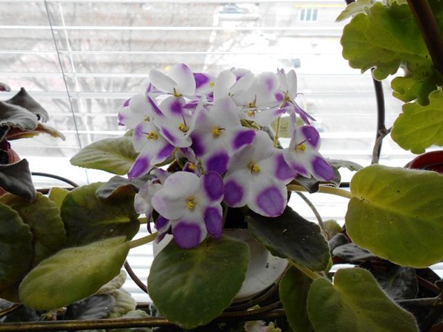 фиалки цветут