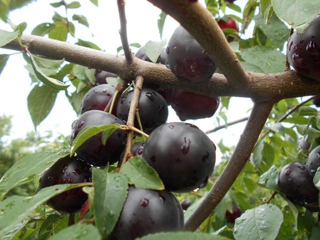 польза ягоды алыча