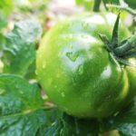 хранить зеленые помидоры в холодильнике