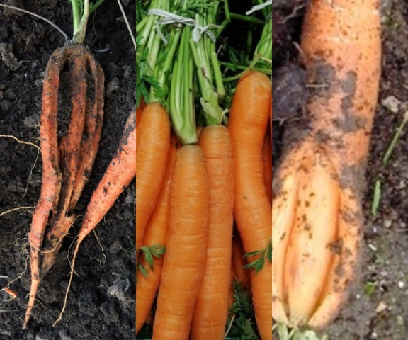 почему трескается морковь причины