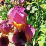 цветок ирис болезни