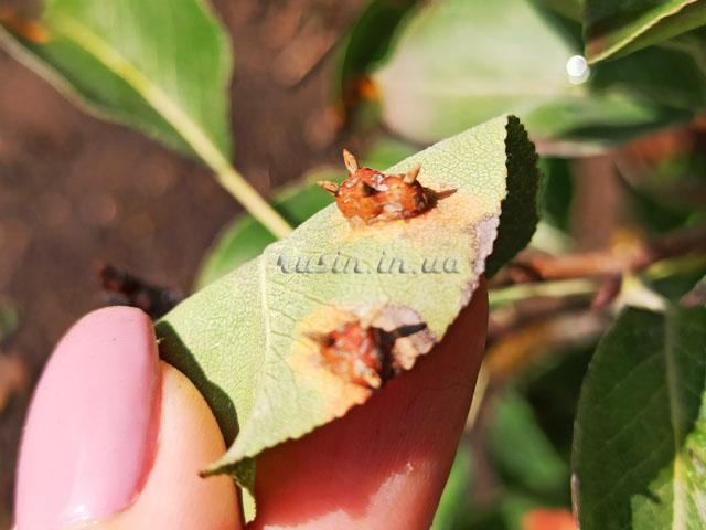 ржавчина на груше фото лечение
