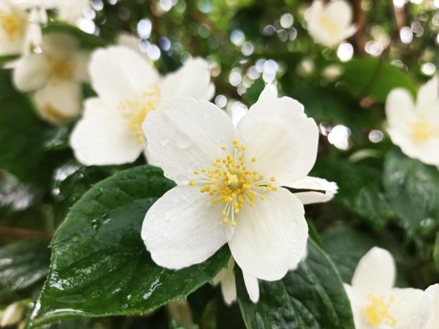 цветок жасмина легенда