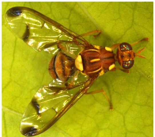 дынная муха фото