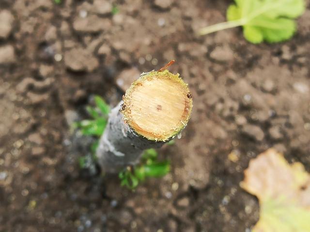 древесница въедливая