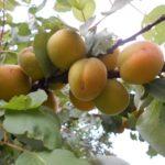 """<span class=""""title"""">Внекорневая подкормка плодовых деревьев</span>"""