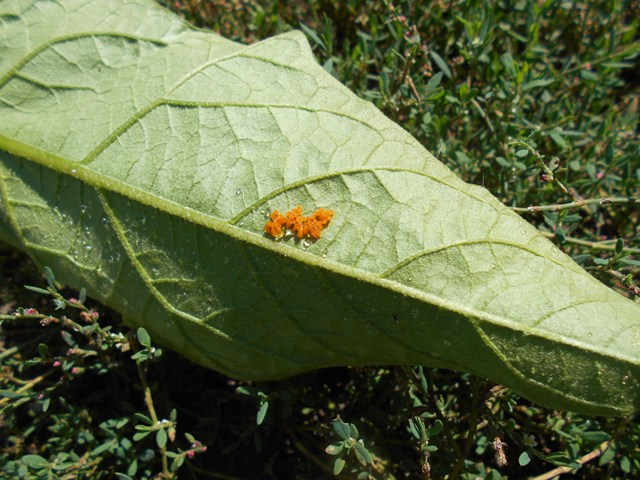 Колорадский жук на картофеле, фото, описание и меры борьбы