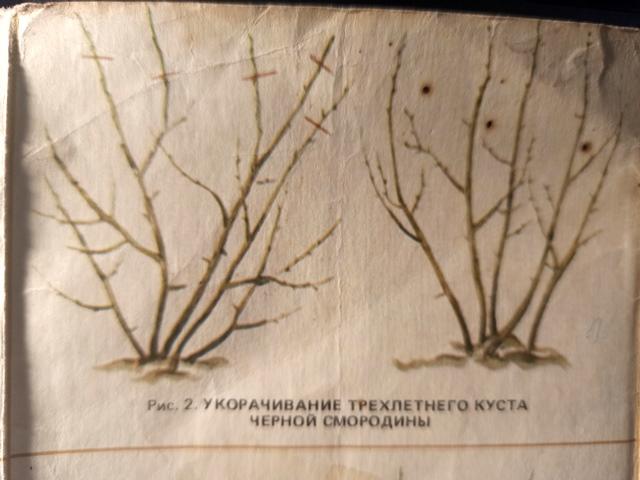 Как делать обрезку смородины, крыжовника и малины