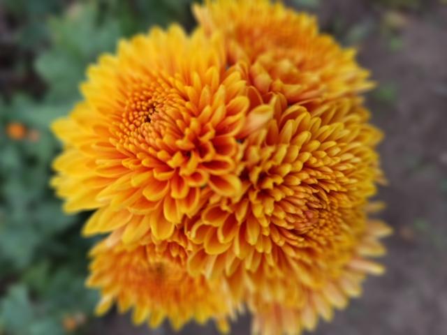 Хризантемы: интересные факты и легенды