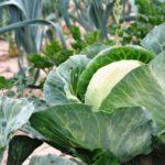 Что любит капуста, правила выращивания
