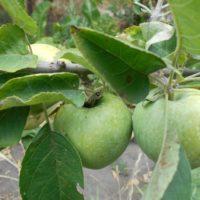 Признаки недостатка магния и марганца у садовых растений