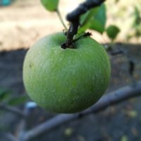 Признаки недостатка железа, бора и серы у плодовых культур