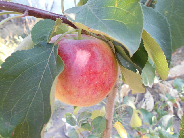Цинк для питания плодовых деревьев