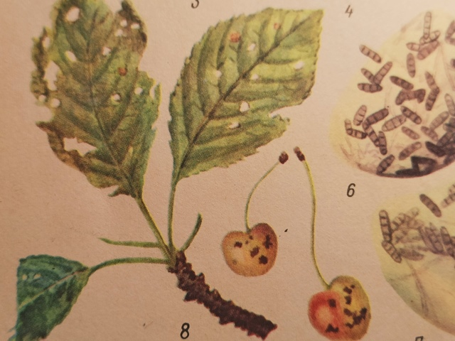 Клястероспориоз или дырчатая пятнистость листьев: описание и меры борьбы