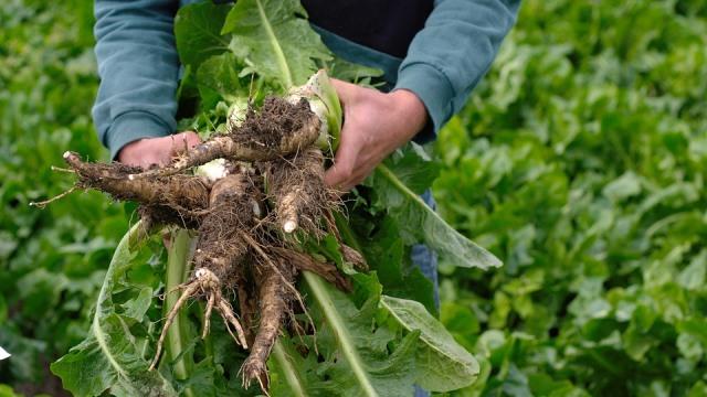 корни цикория